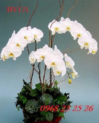 hoa vip    hv121